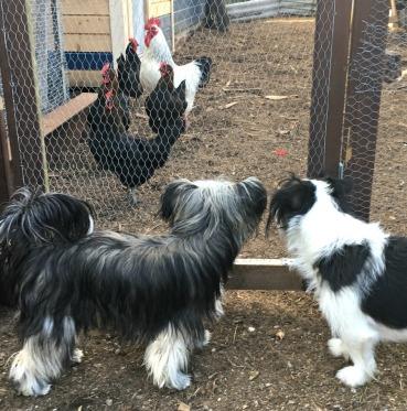 Wilma, Qurre og hønene